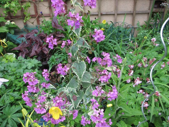 Variegated Honesty ( for Oliveoil) (Lunaria annua (Honesty))