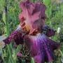 Tall bearded Iris 'Vibrations'  (Iris germanica)