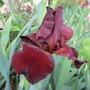 Tall bearded Iris 'Sultan's Palace' (Iris germanica (Orris))