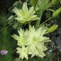 Flowering from the bottom up, Camassia (Camassia    (leichtlinii 'semiplena'?))