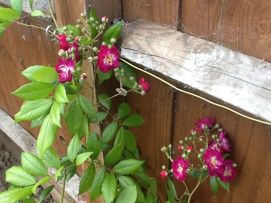 Rambling Rose Perennial Blue (Rosa Perennial Blue)