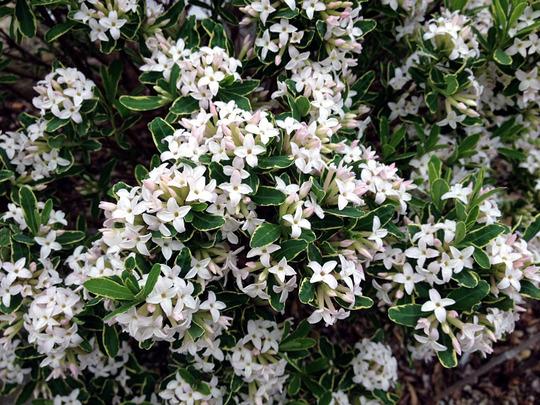 Daphne x burkwoodii 'Silveredge'