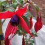 First Fuchsia of the year Mrs Popple