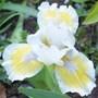 Dwarf Iris 'Captive Sun' (iris)