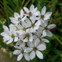Small White Allium