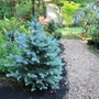 Picea pugens baby blue (Picea pugens baby blue)