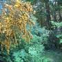 Cytisus scoparius hybrid
