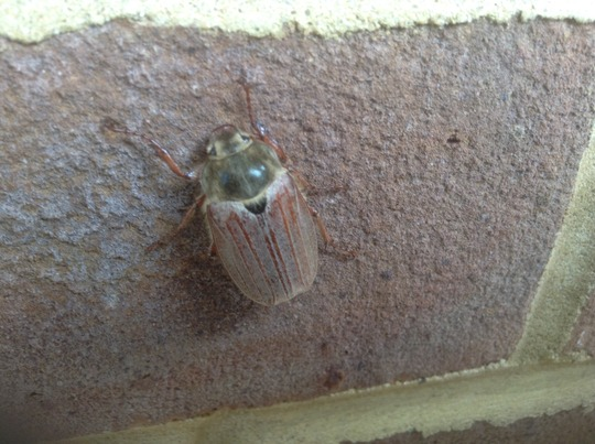 May Beetle