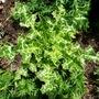 Silybum marianum    for carole