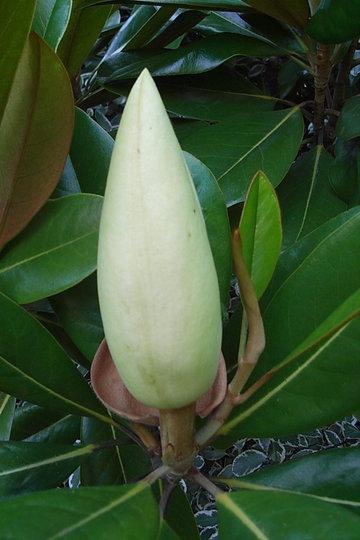 Magnolia grandiflora 'Exmouth' - bud (Magnolia grandiflora 'Exmouth')