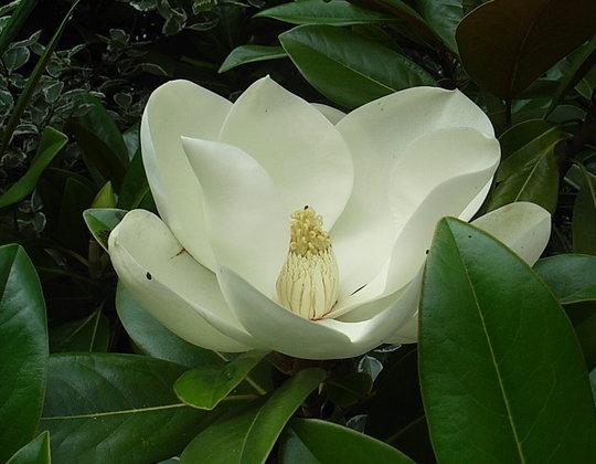 Magnolia grandiflora 'Exmouth' (Magnolia grandiflora 'Exmouth')