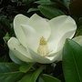 Magnolia grandiflora &#x27;Exmouth&#x27; (Magnolia grandiflora &#x27;Exmouth&#x27;)