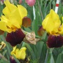 Really is this yellow (Iris germanica (Orris))