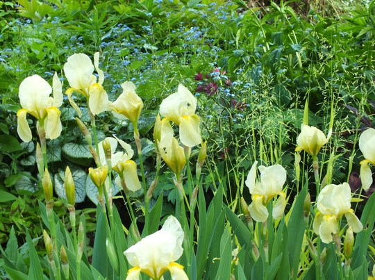 Unknown yellow iris and other things :-)