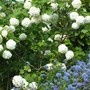 Viburnum Opulus and Ceanothus on the hillside (Viburnum opulus (Guelder rose))