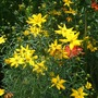Coreopsis vercillicata