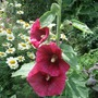 Dark_red_hollyhock