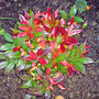 leucothoe scarlettii (Leucothoe scarlettii)