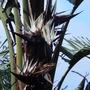 Strelitzia nicolai (Giant Bird of Paradise)