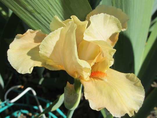 Intermediate Bearded Iris 'Apricot Silk' (Iris intermediate)