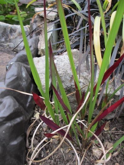 Red Baron grass by the Pond cascade.  (Imperata cylindrica (Bai mao gen))