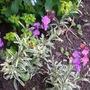 Wallflower  (Erysimum Linifolium Variegatum)