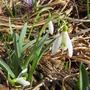 Galanthus nivalis (Common snowdrop) leucojum aestivum