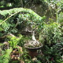 Old potted Ficus nitida. (Ficus nitida)
