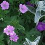 Happy geraniums