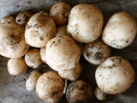 1st  New potatoes ....     Rocket