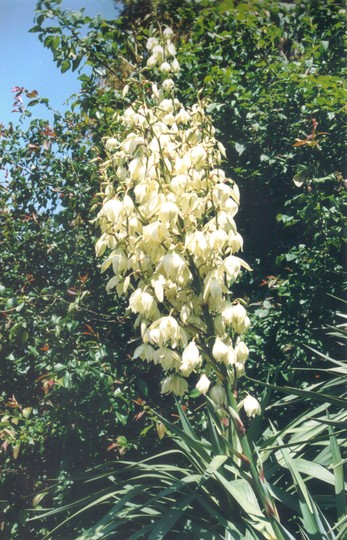 yucca flowers (Yucca recurvifolia)