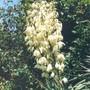 yucca flowers (Yucca recurvifolia)