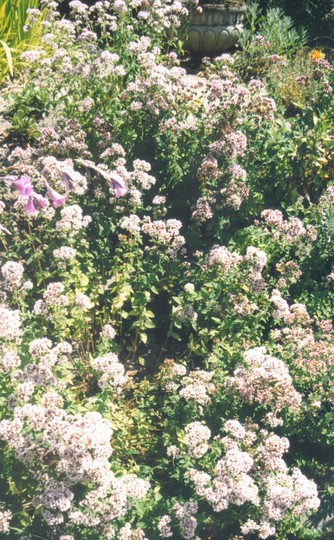 Oregano steps (Origanum vulgare (Oregano))