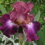 Vibrations side view (Iris germanica (Orris))