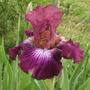 Vibrations (Iris germanica (Orris))