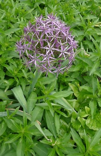 Allium christophii - 2014 (Allium christophii)