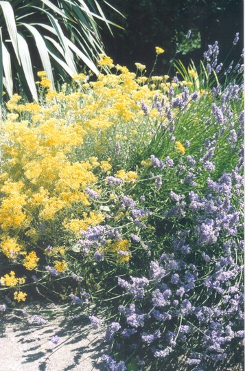lavender and curry plant