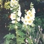 686_hollyhocks
