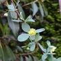Berberis temolaica (close-up) - 2015 (Berberis temolaica)
