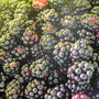 Blackberries_july_22_08_003