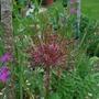 Allium Schubertii.... (Allium schubertii (Schubert's Garlic))