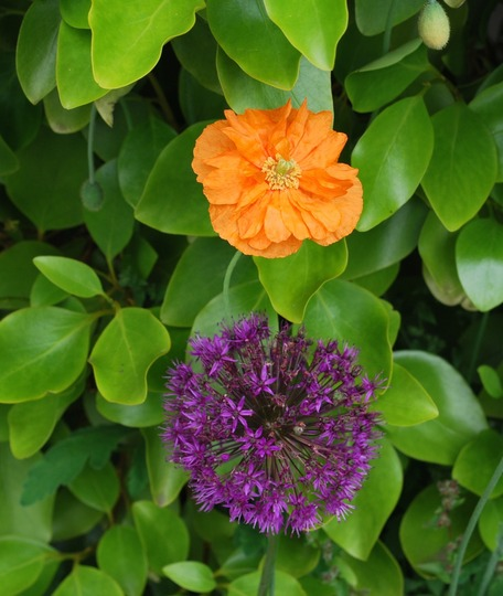 Allium and Poppy......sharing the Griselinia. (Griselinia littoralis (Griselinia))