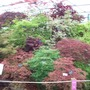 More Acers at Chelsea 2015 (Acer)