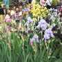 More Iris at Chelsea 2015 (Iris)