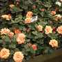 'Easy Does It' Rose  at Chelsea 2015 (Rosa)