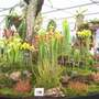 Pitcher plants at  Chelsea 2015