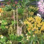 Orchids at  Chelsea 2015 (Orchid)