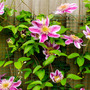 Ray Evison Clematis Empress