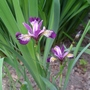 Iris_sibirica_jewelled_crown_2015