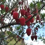 Up close Crinodendron..... (Crinodendron hookerianum (Chilean Lantern Tree))